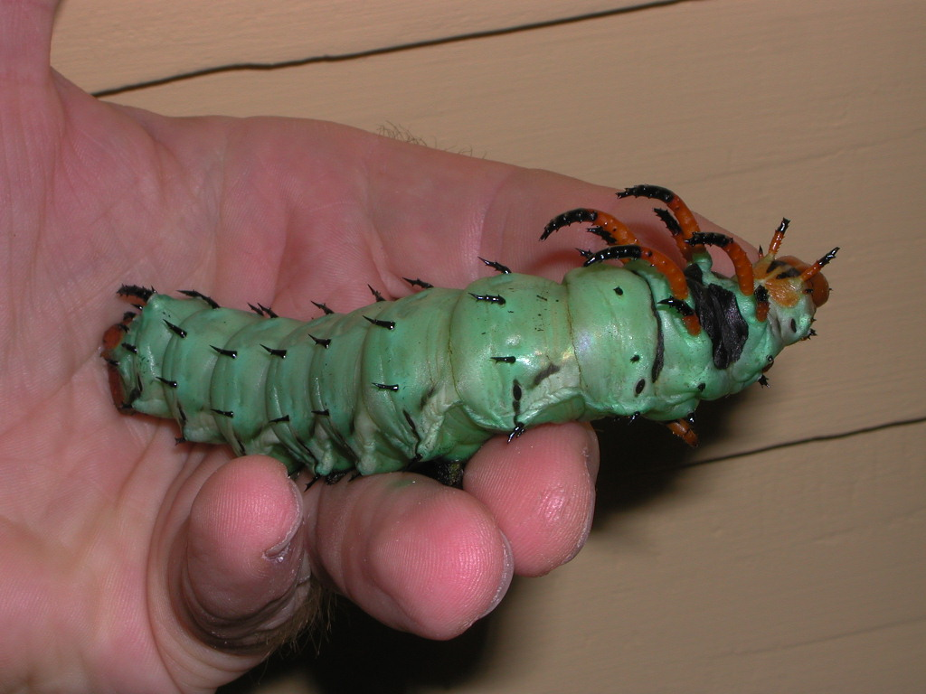 hickory horned devil2