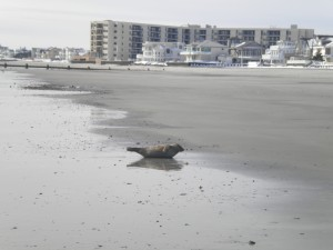 longport 32nd street #1 seal banana