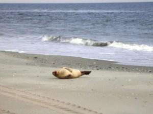 Harbor Seal Longport, NJ 2.09.10