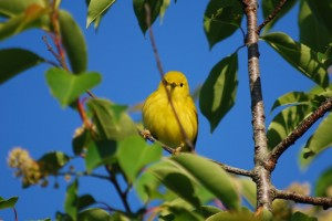 Yellow Warbler--Female