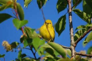 Yellow Warbler--Female