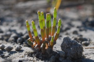 Glasswort or Saltwort