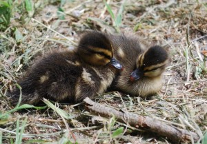 ducklings4small