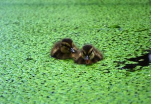 ducklings5small