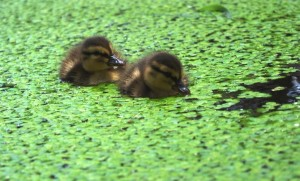 ducklings6small